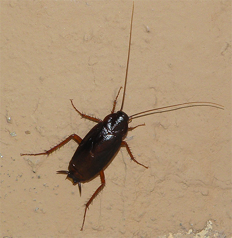 The photo shows a black cockroach