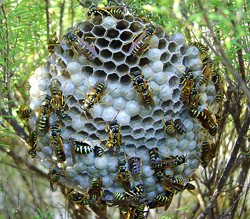 With multiple wasp stings, serious consequences can occur even in people who are not very sensitive to insect poisons.
