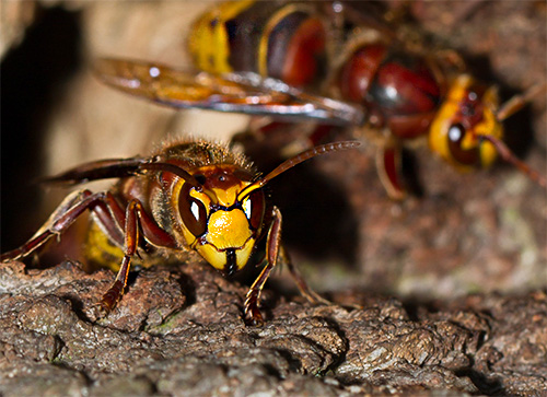 Attacking several hornets at once can be very dangerous for any person, especially when you consider that each insect can sting several times in a row.