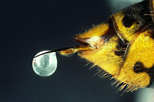 Photo of a wasp sting with a drop of poison at the end