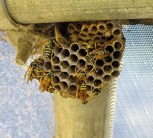 If the hornet's nest does not represent an immediate danger, it is better not to touch it.