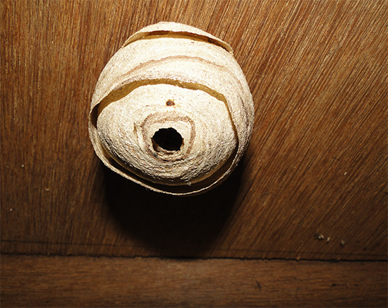 على السقف المسطح ، يمكن تدمير العش مع دلو من الماء ، في الواقع غرق الحشرات.