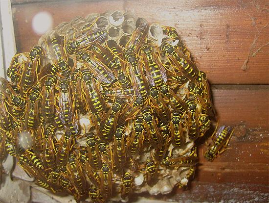 يمكن أن تشكل أعشاش الدبابير تهديدًا مباشرًا لصحة الإنسان.