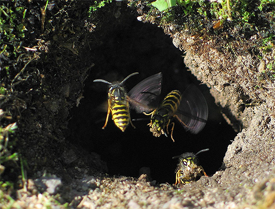 تُظهر الصورة مدخل عش الدبابير ، وهو تحت الأرض.