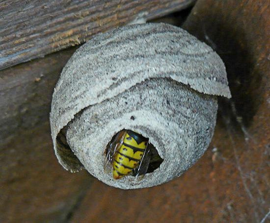 في كثير من الأحيان ، تقوم الدبابير ببناء مسكنها تحت سقف المنازل الصيفية.