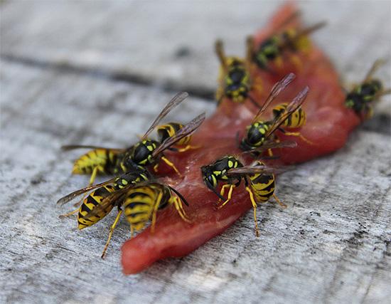 توافد الحشرات على قطعة من اللحم