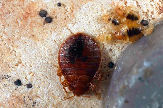 사진은 성인용 침대 벌레와 애벌레를 보여줍니다.