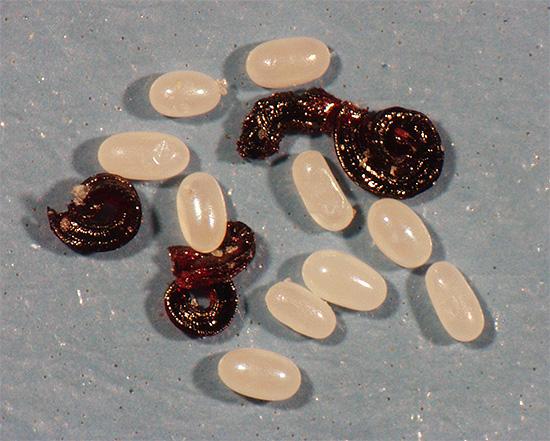 Larva ve pire yumurtaları, örneğin halılarda ve süpürgelerin arkasında saklanabilir.
