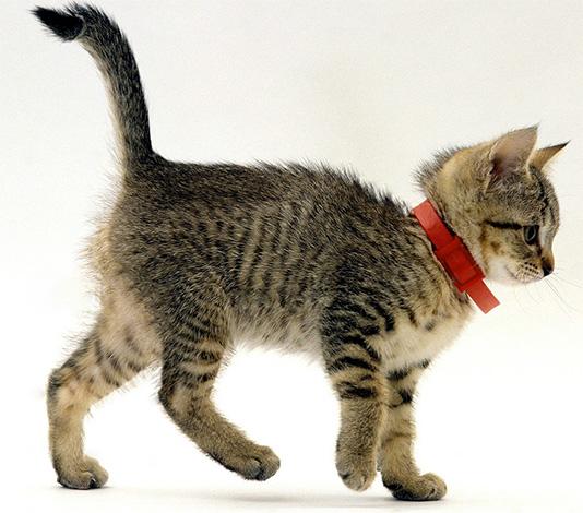 Bir evcil hayvan üzerinde yürürken, yaka koymak yararlıdır.
