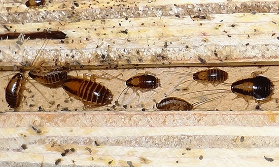 Η Δέλτα Ζώνη καταστρέφει ακόμη και εκείνες τις κατσαρίδες που κατάφεραν να αναπτύξουν αντοχή σε κάποια άλλα εντομοκτόνα.