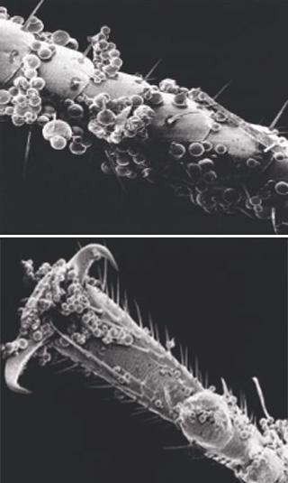 Το μικροενθυλακωμένο εντομοκτόνο προσκολλάται καλά στα πόδια, τα μουστάκια και το σώμα των εντόμων, πράγμα που αυξάνει σημαντικά την αποτελεσματικότητα του προϊόντος.