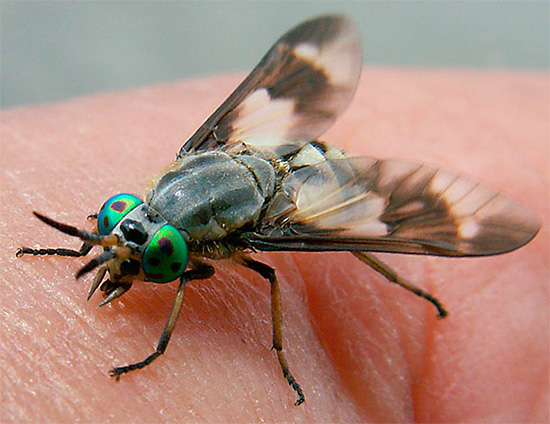 And this is how the horsefly itself looks like in the process of saturation.