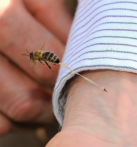Unlike hornets and wasps, a bee leaves a sting in the victim's skin (along with part of the internal organs) when it is bitten.
