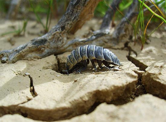 الحشرات هي مخلوقات خجولة نوعًا ما وتفضل أن تختبئ تحت العوائق وأوراق الشجر القديمة.