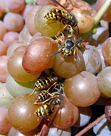 تظهر الصورة الدبابير تتغذى على عصير العنب.