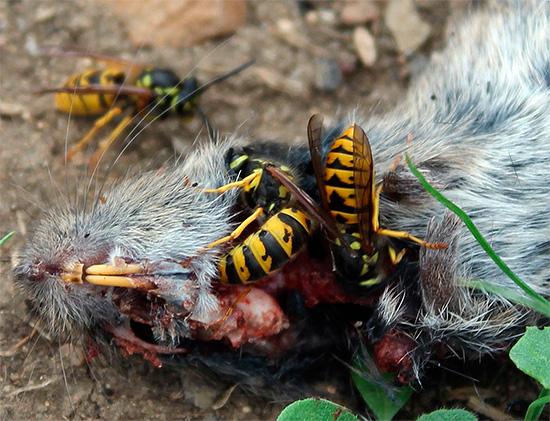 هذه الحشرات لا تزدهر والجيف ، والتي ستكون بمثابة مصدر للبروتين الغذائي لزراعة اليرقات.