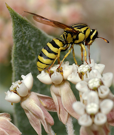 الزنابير زهرة تتغذى على رحيق النباتات.