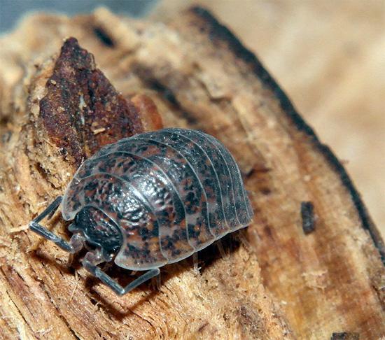خارجيا ، يشبه قمل الخشب من النوع Trachelipus rathkei شيئًا ما بين قمل الخشب الخشبي الشائع.