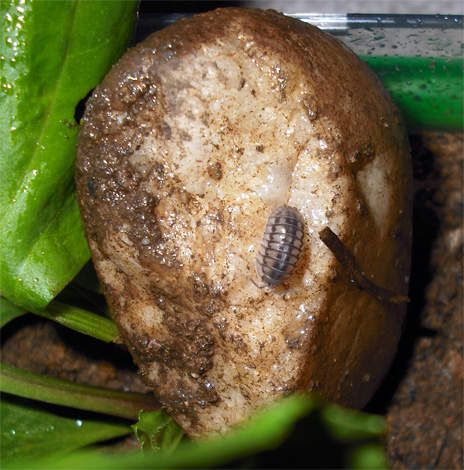 Mokritz can be brought to an apartment on rotten potatoes, but they have practically no chance of long-term survival in a dry room.