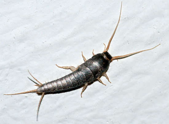 And this is how a silverfish looks, more slender and having long cerci at the end of the abdomen.