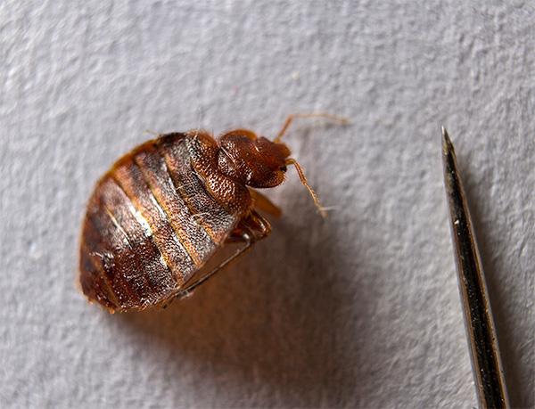 Mulți oameni nu bănuiesc nici măcar că băgați de pat într-un apartament (precum și alte insecte, apropo) pot fi distruse eficient cu ajutorul bombei de fum.