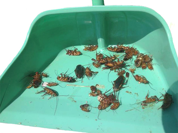 Before letting pets into the apartment, it is important to sweep away all dead cockroaches and do wet cleaning.