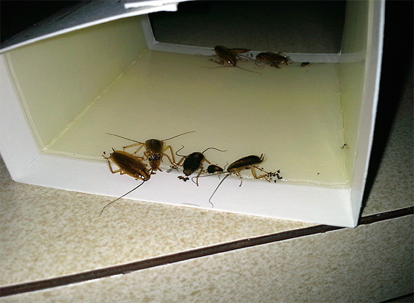 The photo shows an example of a glue trap with stuck cockroaches.
