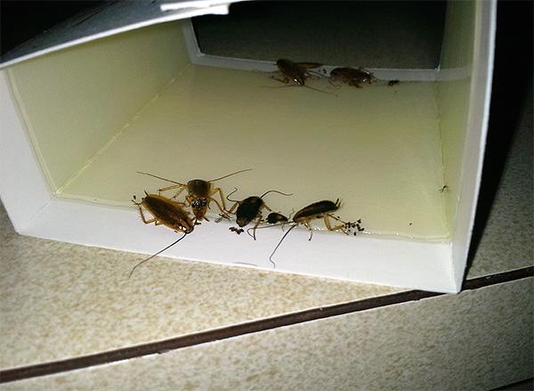 Η φωτογραφία δείχνει ένα παράδειγμα παγίδας κόλλας με κολλημένες κατσαρίδες.