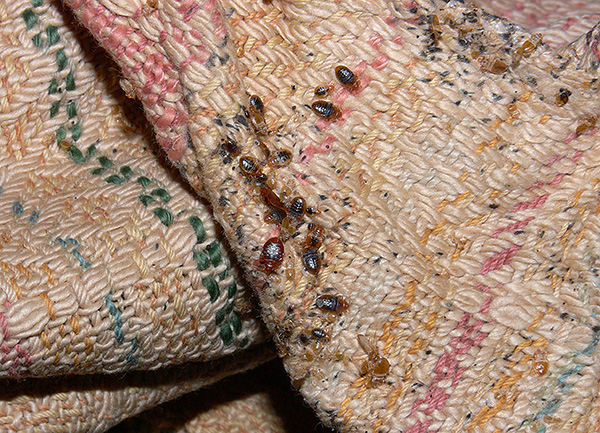 The photo shows a nest of bed bugs in the folds of upholstered furniture.