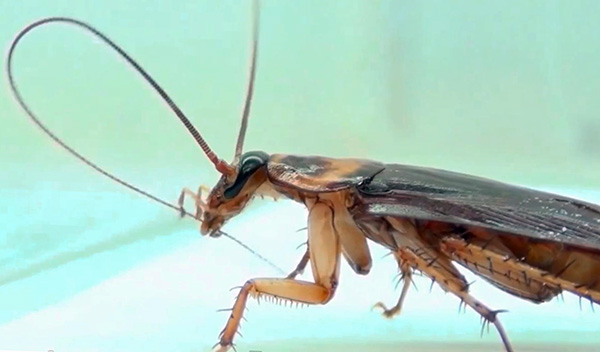 An insecticide can enter the body of a cockroach when an insect cleans, for example, its antennae.