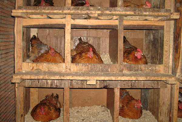 Often, bugs massively breed in chicken coops.