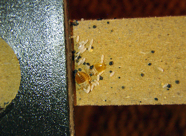 The picture clearly shows the eggs of bedbugs on the wall of furniture.