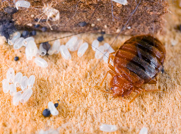 Let's try to figure out how to properly organize the prevention of bedbugs in the apartment in order to reliably protect your home from the appearance of these parasites ...