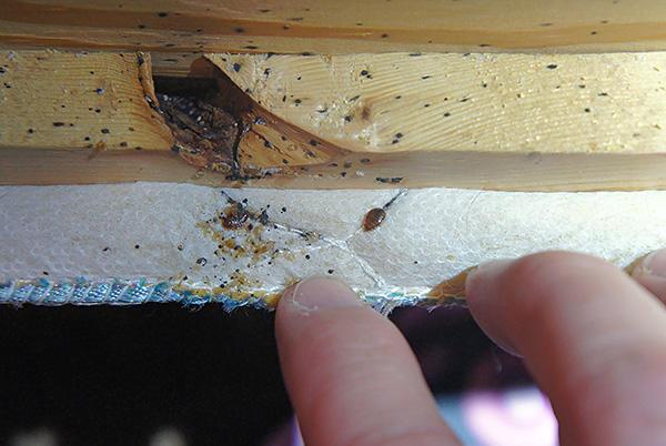 The photo shows the nest of bedbugs in the couch.