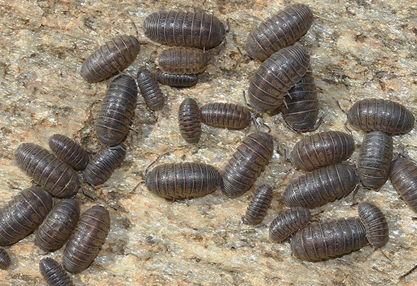 As a rule, the breeding ground of wood lice is located in the attic of a house or basement.