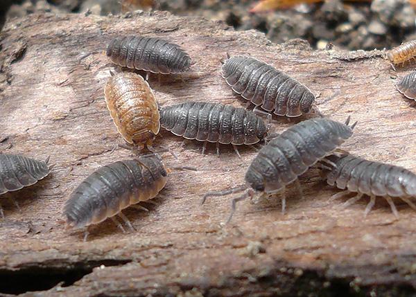 نتعرف على ميزات مثيرة للاهتمام من بيولوجيا من woodlice ومعرفة ما إذا كانت هذه المخلوقات هي الحشرات ...