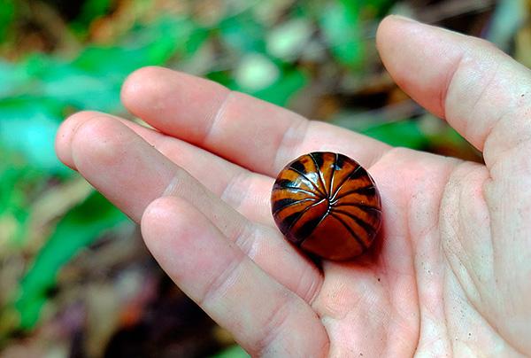 على الرغم من حقيقة أن الكبيريا تبدو أشبه بقشرة الخشب ، إلا أنها في الواقع عبارة عن زوجان من الحشرات.