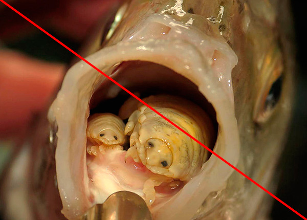 القشريات ، الطفيلية في لغات الأسماك ، قمل الخشب ، بالمعنى الدقيق للكلمة ، ليست ، على الرغم من أنها مشابهة جدا لهم.