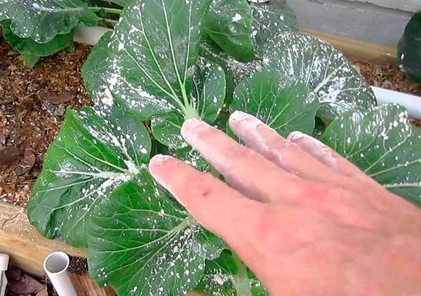 يمكن استخدام الدواء للتدمير الفعال للآفات على نباتات الحديقة والحديقة.