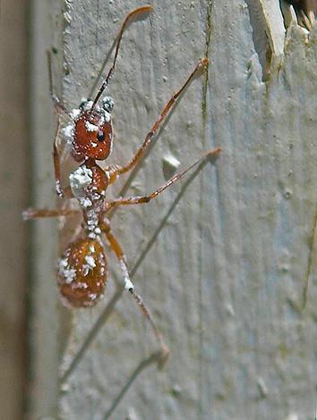 النمل المتسخة في الدياتوميت