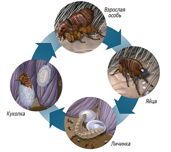 Resim bir bitkinin yaşam döngüsünü gösterir - yetişkin bir birey, larvaların yumurtadan çıkmasını sağlar, ki bu da daha sonra bir pupaya dönüşür ve tekrar yetişkin bir insana dönüşür.