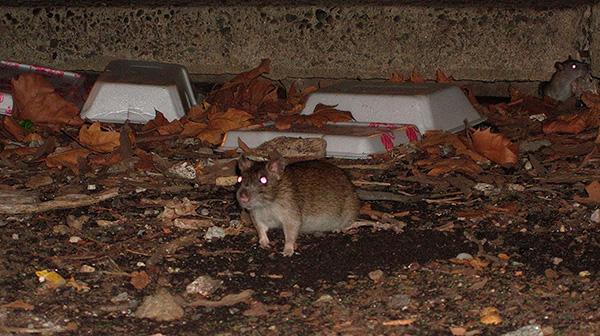 Sıçanlar ve fareler aynı zamanda küçük kan emicilerin aktif taşıyıcılarıdır.