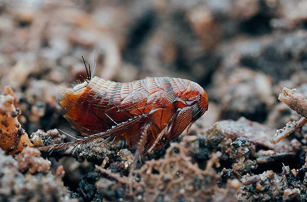 Dairelerde pire görünümünün tipik bir nedeni, parazitlerin bağımsız olarak daha fazla veya daha az önemli mesafeler için hareket edebilmeleridir.