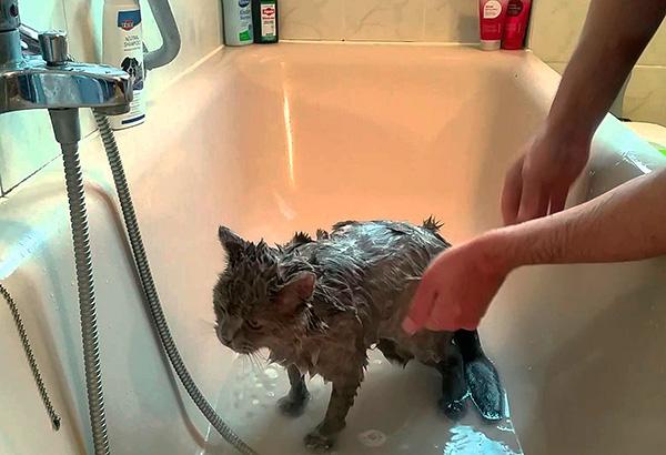 Bazı pire işlem sırasında yıkanır ve bazı hayvanların postundan sonra (katran kokusu nedeniyle) ayrılır.