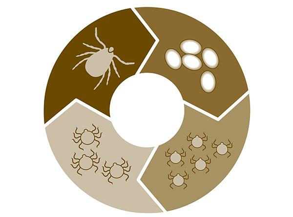 Ο κύκλος ζωής του παρασίτου από αυγό σε ενήλικα άτομα διαρκεί κατά μέσο όρο περίπου 3 χρόνια.