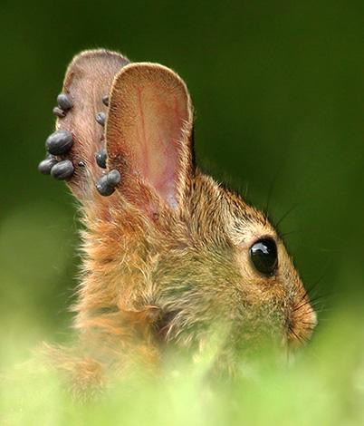 Ο αιτιολογικός παράγοντας της βορρελίωσης μεταδίδεται από άγρια ζώα στους ανθρώπους μέσω τσιμπήματα τσιμπουριών.
