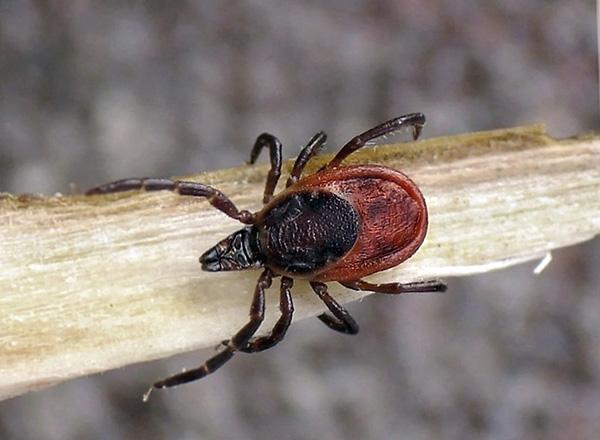 Taiga tick (Ixodes persulcatus)