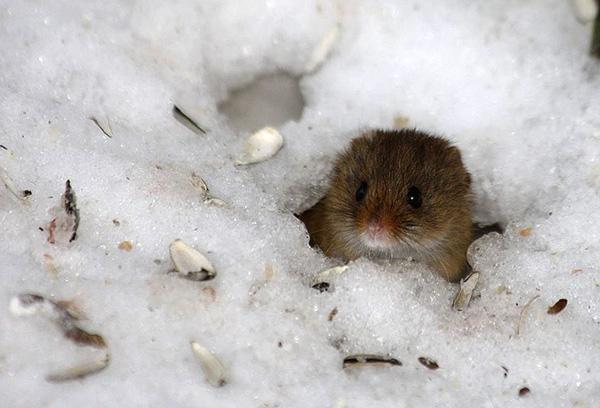 تنفق الكثير من القراد طوال فصل الشتاء في ثقوب القوارض الصغيرة.
