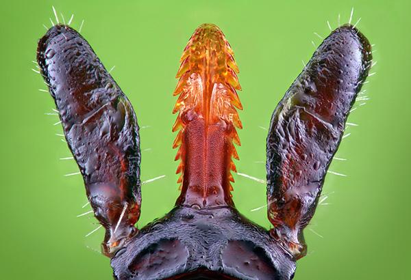 Μοιάζει με τσιμπούρι κάτω από μικροσκόπιο.