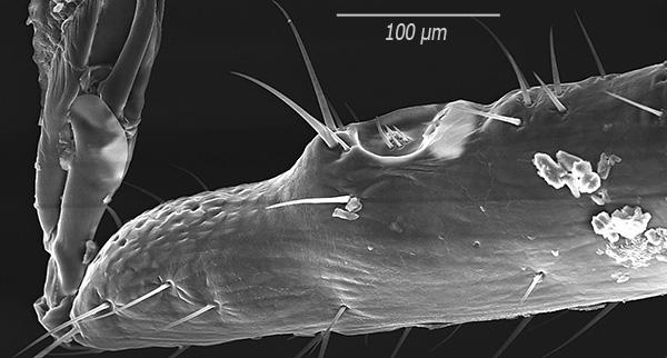Έτσι, οι αιχμές εξετάζουν υψηλή μεγέθυνση (εικόνα που λαμβάνεται με ηλεκτρονικό μικροσκόπιο σάρωσης).